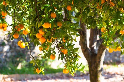 עצי פרי מומלצים לגינה